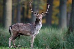 Залежный самец оленя смотрит Стоковые Изображения
