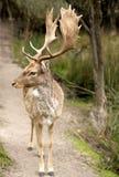Залежный самец оленя Стоковое Фото