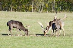 3 залежных оленя Стоковое фото RF