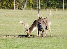 2 залежных оленя Стоковая Фотография RF