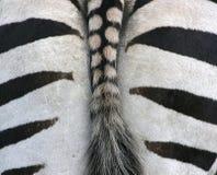 за зеброй Стоковые Изображения