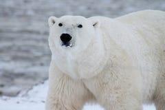 Залив Гудзона (3) полярного медведя Стоковые Фото