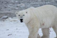 Залив Гудзона (5) полярного медведя Стоковые Изображения