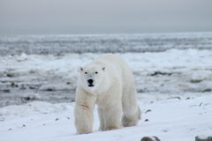 Залив Гудзона (6) полярного медведя Стоковое Фото