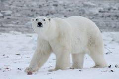 Залив Гудзона (8) полярного медведя Стоковая Фотография