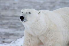 Залив Гудзона (9) полярного медведя Стоковые Изображения