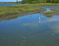 Залив задней части пляжа Ньюпорта Egrets Стоковое Фото