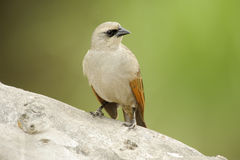 Залив-подогнали Cowbird (badius Agelaiodes) стоковые фотографии rf