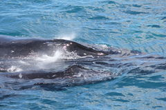 Залив Hervey матери и икры горбатого кита Стоковая Фотография
