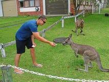 Залив NSW Jervis кенгуру - Австралия Стоковые Фотографии RF