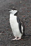 Залив ` s китобойного судна конца-Вверх пингвина Chinstrap, Антарктика Стоковые Фотографии RF