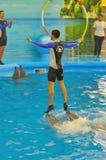 Залив ` s Dolphine в Пхукете, Таиланде Специальное отношение между дельфином и человеком Стоковое Изображение