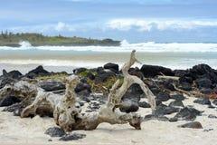 Залив Tortuga, Santa Cruz, Галапагос Стоковое фото RF