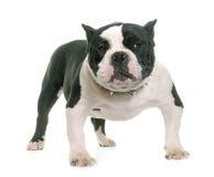 Задира щенка американский стоковое фото rf