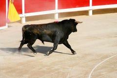 Задира Bull_2 Стоковая Фотография RF