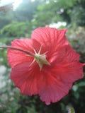 За красным цветком Стоковое Фото