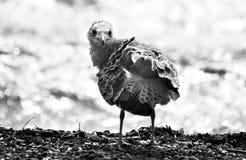 задний взгляд чайки Стоковая Фотография