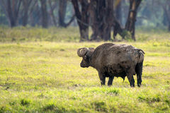 Задний взгляд африканского буйвола в саванне Стоковые Изображения RF