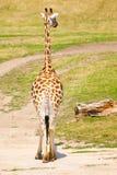 Задний взгляд жирафа в саванне, Африке Стоковые Изображения