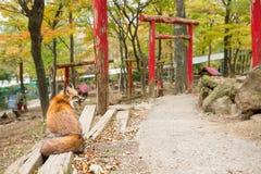 Задний взгляд лисы сидя перед японским torii стоковые изображения rf
