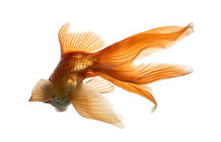 Задний взгляд рыбки в воде, islolated на белизне Стоковые Фото