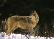 задний смотря волк Стоковые Фотографии RF