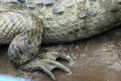 Задняя лапка американского крупного плана Caiman (крокодила), Стоковое фото RF