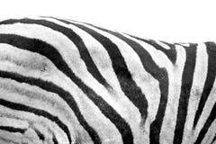 задняя зебра Стоковое Изображение