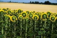Задняя сторона солнца цветет предпосылка Стоковое Изображение RF