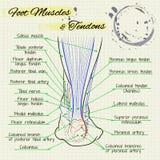 Задняя часть ноги человека Стоковое Изображение