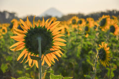 за солнцецветом Стоковые Фото