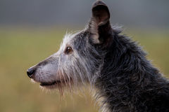Задыхаться головы собаки Lurcher Стоковые Изображения RF