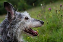 Задыхаться головы собаки Whippet Стоковое Изображение