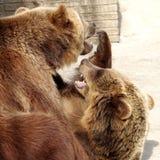 звеец буйвола 2 медведей коричневый Стоковая Фотография RF