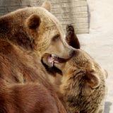 звеец буйвола 2 медведей коричневый Стоковые Фото