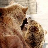 звеец буйвола 2 медведей коричневый Стоковое Фото