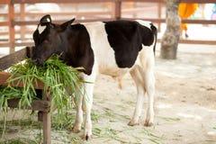 звеец коровы Стоковые Фото