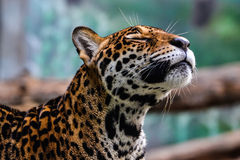 звеец леопарда kheow khao открытый Стоковое Фото