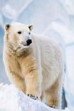 звеец медведя приполюсный Стоковые Фотографии RF