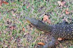 звеец монитора крокодила Стоковые Изображения