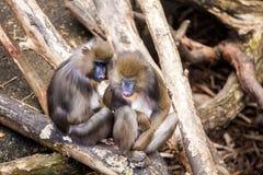 звеец обезьян 2 Стоковое Изображение