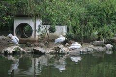 звеец пеликанов s hangzhou фарфора стоковое изображение rf