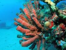 звеец пробки коралла aqua Стоковые Изображения RF