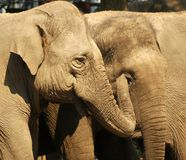 звеец слонов amersfoort Стоковые Изображения