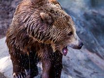 звеец moscow новичка медведя приполюсный одичалый Стоковая Фотография