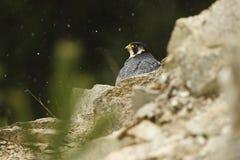 звеец peregrinus falco принятый фото Сапсан имеет космополитическое расширение Стоковое Изображение