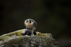звеец peregrinus falco принятый фото Сапсан имеет космополитическое расширение Стоковая Фотография