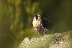 звеец peregrinus falco принятый фото Сапсан имеет космополитическое расширение Стоковая Фотография RF