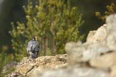 звеец peregrinus falco принятый фото Сапсан имеет космополитическое расширение Стоковые Фото