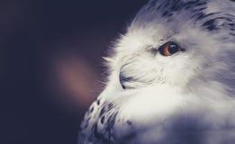 звеец prague сыча снежный Стоковое фото RF